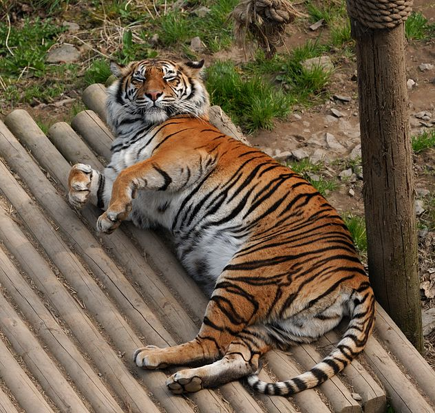 Sumatran tiger at welsh mountain zoo